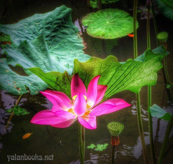 Taipei Travel Summer Lotus Flowers photography Romanticism 台北旅行 夏日荷花 花卉摄影 浪漫主义 Yalan雅岚 黑摄会